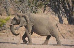 Слоны пустыни Стоковое Фото