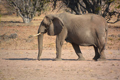 Слоны пустыни Стоковые Фото