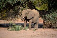Слоны пустыни Стоковые Изображения