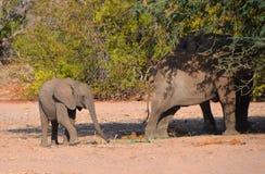 Слоны пустыни Стоковое Изображение RF