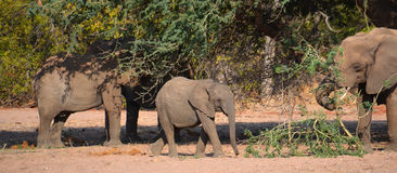 Слоны пустыни Стоковые Изображения RF