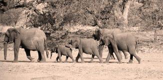 Слоны пустыни Стоковая Фотография