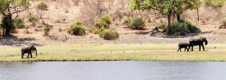 Слоны - река Chobe, Ботсвана, Африка Стоковая Фотография RF