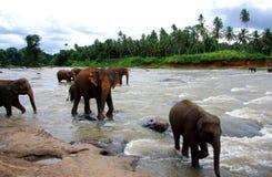 Слоны реки Стоковое фото RF