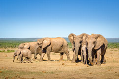 Слоны, слоны парк Addo, Южная Африка Стоковое Изображение