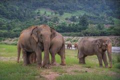 Слоны Стоковое Фото