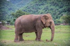 Слоны Стоковые Изображения