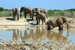 Слоны Стоковые Фото