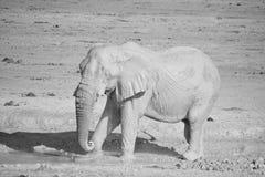 Слоны Стоковая Фотография