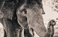 Слоны Стоковое Изображение