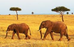 Слоны Mara Masai Стоковая Фотография