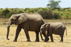 Слоны Mara Masai Стоковые Изображения