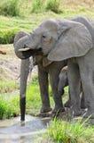 Слоны, Serengeti Стоковое фото RF