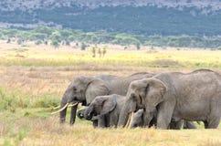 Слоны, Serengeti Стоковая Фотография RF