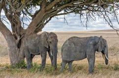 Слоны, Serengeti Стоковая Фотография