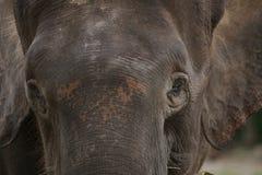 Слон Борнео пигмея Стоковые Фото