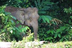 Слон Борнео Стоковые Изображения