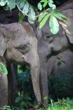 Слон Борнео Стоковая Фотография RF
