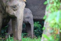 Слон Борнео Стоковые Фото