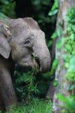 Слон Борнео Стоковое Изображение RF