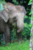 Слон Борнео Стоковые Фотографии RF