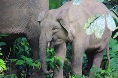 Слон Борнео Стоковое фото RF
