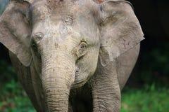 Слон Борнео Стоковое Изображение