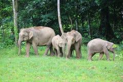 Слон Борнео Стоковое Фото