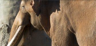 Слон Брайна индийский или азиатский Стоковое Изображение RF