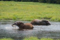 Слон 2 брызгая в воде (Республика Конго) стоковые изображения
