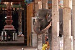 Слон виска стоковое изображение