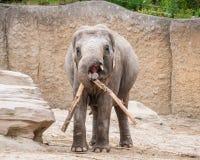 Слон волочит ветвь дерева Стоковые Фотографии RF