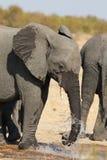 Слон выпивая и брызгая воду на сухой и горячий день Стоковое Изображение RF