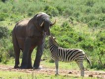 Слон выпивая пока вахты зебры стоковое изображение rf