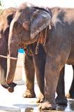 Азиатские слоны, подготовляя показать. Стоковое Изображение