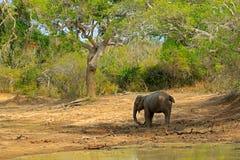 Слон в Азии Азиатский слон, maximus maximus Elephas, с зеленой травой в хоботе Большое млекопитающее в среду обитания природы, Ya Стоковое Фото