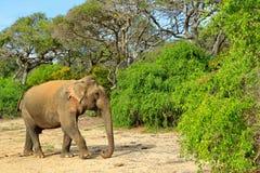 Слон в Азии Азиатский слон, maximus maximus Elephas, с зеленой травой в хоботе Большое млекопитающее в среду обитания природы, Ya Стоковая Фотография
