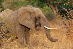 Слон в кусте Стоковые Изображения
