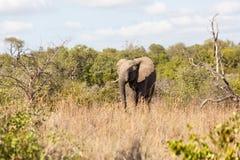 Слон в кусте Стоковая Фотография