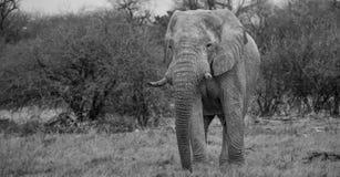 Слон в национальном парке Etosha (чернота & белизна) Стоковое фото RF