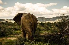 Слон в одичалом Стоковое фото RF
