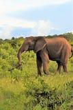 Слон в пастбище стоковые изображения rf