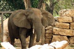 Слон в сафари Ramat Gan, Израиле стоковое фото rf