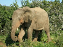 Слон в forrest в Африке Стоковые Изображения RF