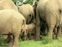 Слон в forrest в Африке Стоковое Изображение RF