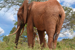 Слон гигант Стоковое Фото