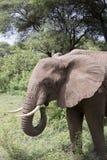 Слон есть, озеро Manyara, Танзания стоковое изображение rf