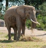 Слон ест траву и сено Стоковое Фото
