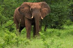 Слон делая заявление Стоковое Фото