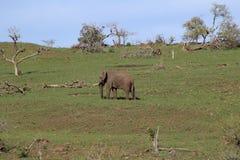 Слон интересуя африканским ландшафтом Стоковые Фотографии RF